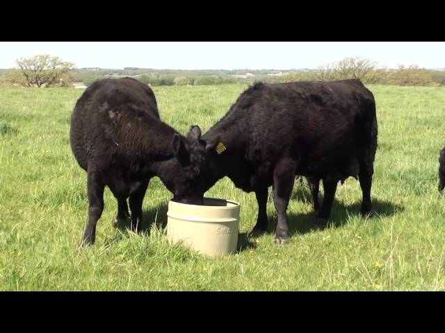 Cattle Utilizing SmartLic Supplements #1