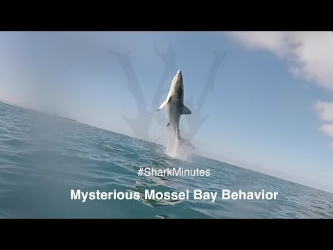 Shark Minutes: Mouthing, Bumping and Breaching, Oh My! WSV