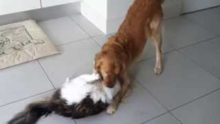 Golden Retriever Dog And Maine Coon Cat Playing
