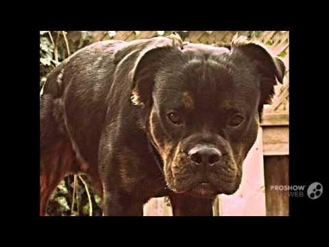 Mammut Bulldog Dog breed - YouTube