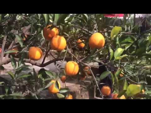 Fresh   Organic   Juicy   Healthy   Red Blood Oranges