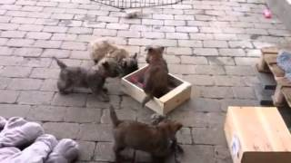 Cairn Terrier Puppies Playing With Wineboxes