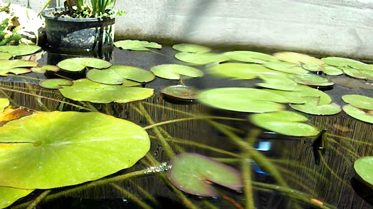 Koi e pesci rossi giardino acquatico youtube for Pesci rossi in giardino