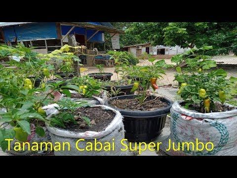 Tanaman Cabe Super Jumbo Hasil Stek Air Gula..