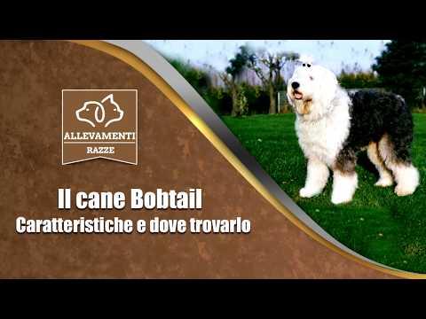 Il cane Bobtail - Caratteristiche e dove trovarlo