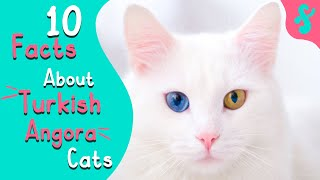 Most Amazing Top 10 Facts about TURKISH ANGORA Cats   Furry Feline Facts