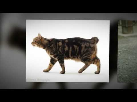 Manx cat - how much should my manx cat weigh