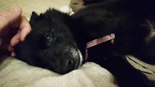 飼い主に撫でられて寝落ちしてしまった。 #schippeke #dog #レア犬 #犬 ...