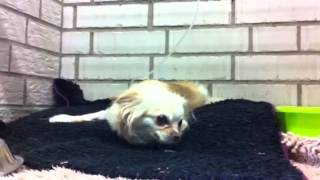 Vestibularsyndrom Hund Chihuahua Juli 11-sep.12
