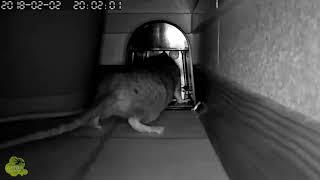 Электрическая крысоловка Victorpest в действии. Крыса с крысёнком