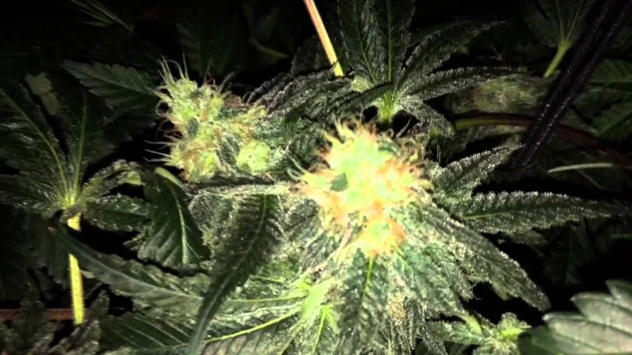 White Widow X Big Bud Week 6 Flower Youtube