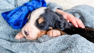 Bernese Mountain Dog Puppy Care | 5 Weeks Old