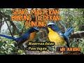 Suara Masteran Burung Tledekan Gunung  Mp3 - Mp4 Download