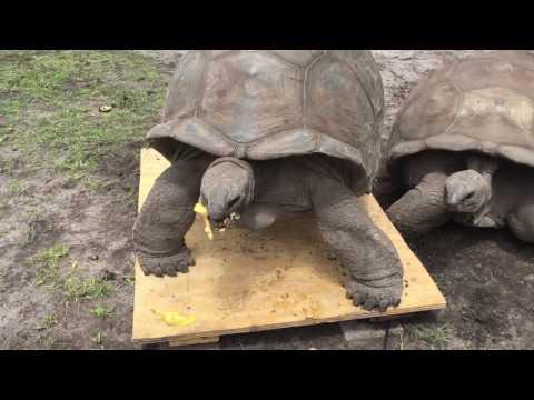Aldabra Tortoise #7 Weight