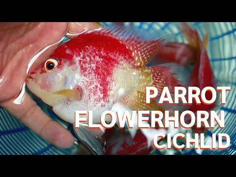 Parrot Flowerhorn Cichlid Nice Fish For Special