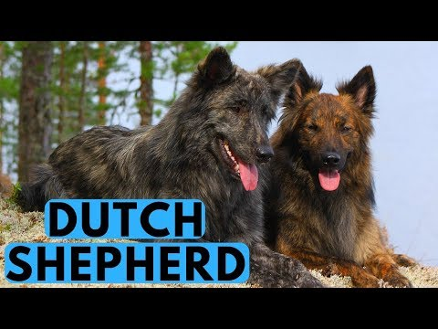 Dutch Shepherd Dog Breed - All You Need to Know