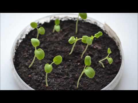Пеларгония из семян в домашних условиях. Первые всходы пеларгонии