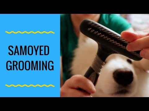How to Groom a Samoyed Dog Part 1 (step by step)
