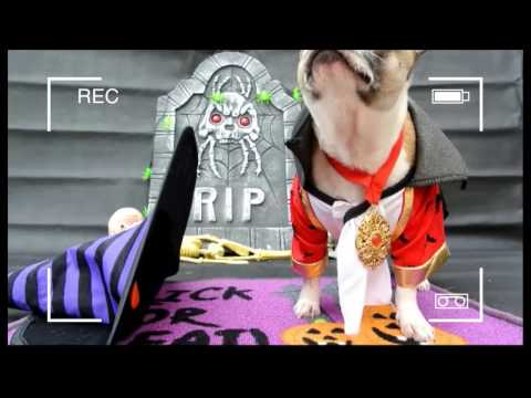 Elmo Staffy x Chihuahua - Trick(s) (f)or Treat(s)