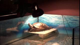Звезда харьковского ресторана, черепаха Маня танцует - ГородХ