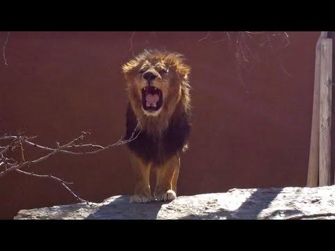 ABQ Zoo Roaring Lion, Diving Polar Bears, Dancing Orangutans, Tasmanian Devil Albuquerque, NM