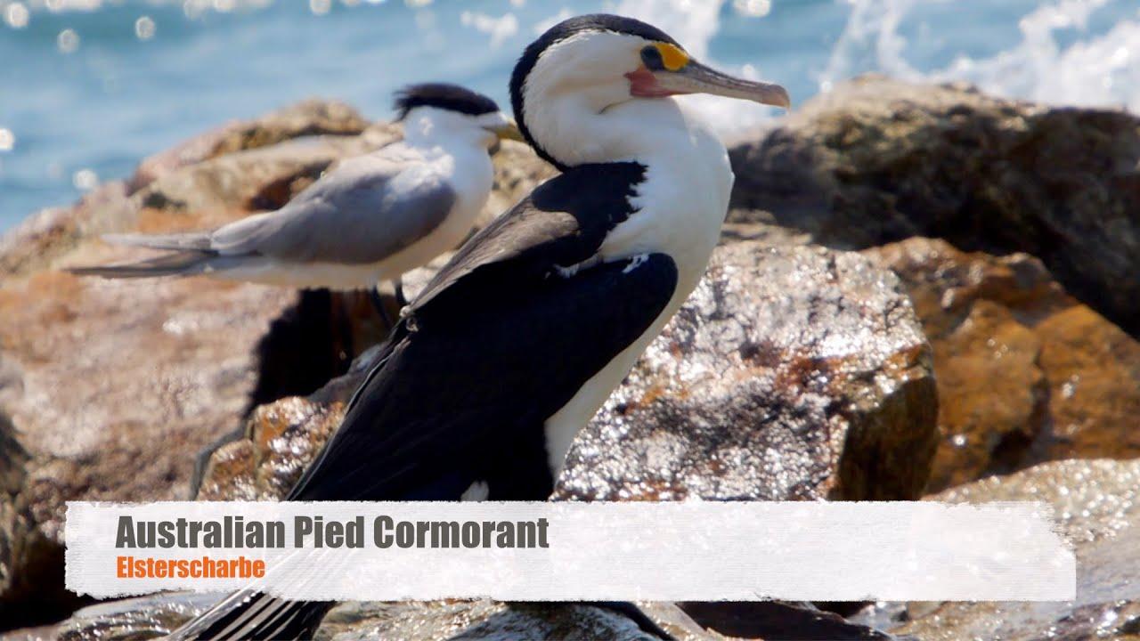 australian pied cormorant phalacrocorax varius elsterscharbe 2