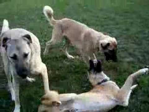 Anatolian Shepherd Dogs playing