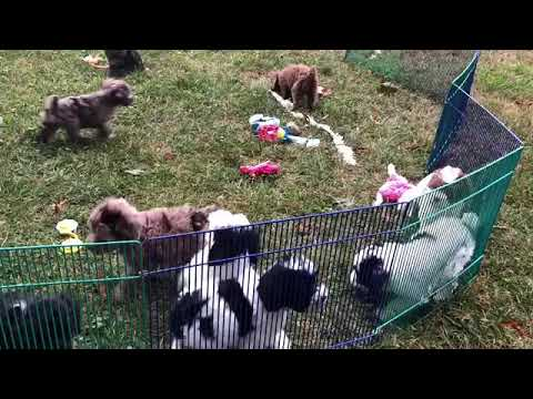 Buffy's schnoodle puppies 8-21-19  playing in yard