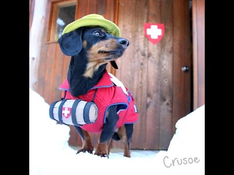 Crusoe the Avalanche Rescue Dachshund!