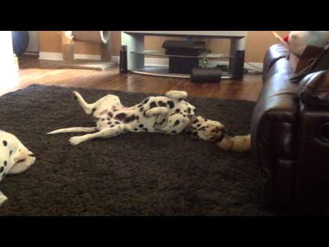 Kitten copies Dalmation, thinks she's a dog?