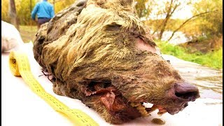 Ancient Preserved 40 000 Year Old Head Of Giant Wolf Discovered In Siberia