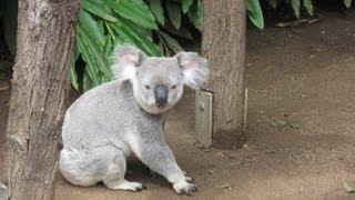 Забавный коала Funny coala