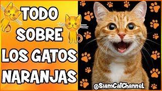 Todo Sobre Los Gatos Naranjas (Origen, Curiosidades y Más)  SiamCatChannel