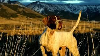 Порода собак. Пойнтер.Очень красивая и большая собака.