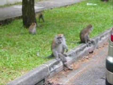 Monkeys in Bukit Timah nature reserve - YouTube