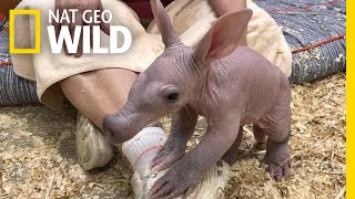 Ugly Cute Baby Aardvark Takes its First Steps | Nat Geo Wild YouTube Videos