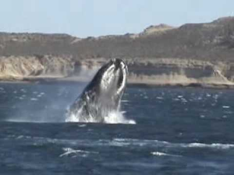 Orcas en Chubut, Patagonia Argentina