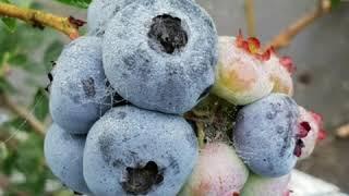 남산블루베리 농원에서 수확했던 블루베리 열매입니다.