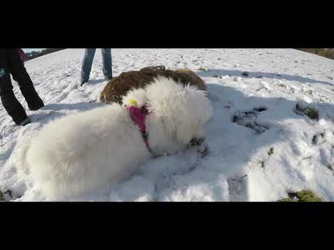Goldendoodle and Briard playing in the snow shot with GoPro:)