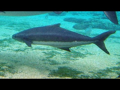 Facts: The Cobia