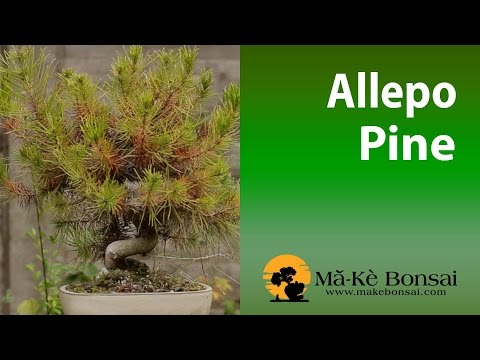 72) Aleppo pine - Pinus Halpensis - how to care for guide