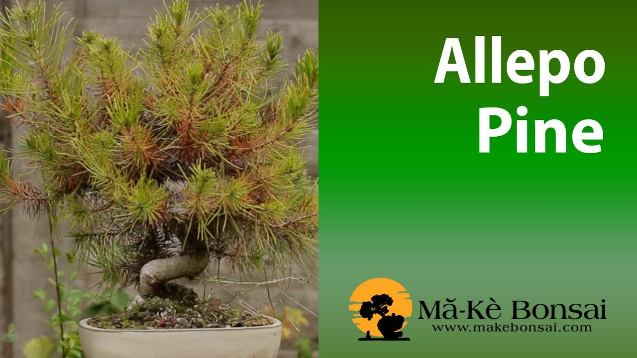 72 Aleppo Pine Pinus Halpensis How To Care For Guide Youtube