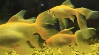 Рыбки-кометы выросли.Любимый аквариум.