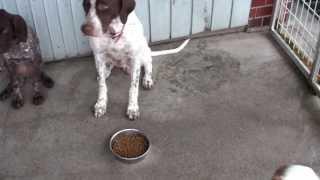 私の犬舎ではパピー以外は朝夕二回の食事を与えています。 食事はヒルズ...