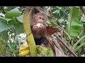 Baby Monkey | Playtime And Eating Banana Of Monkey Doo And Cat Miu