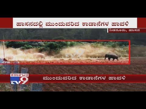 Elephant Menace at Sakaleshpur, Destroys Crops