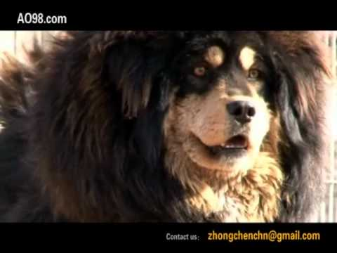 Tibetan Mastiff!The Return of the King!