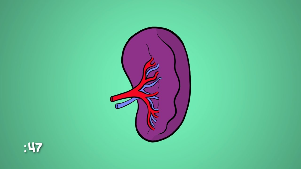 What Is A Spleen And What Does It Do Youtube