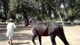 Remount Depot Mona Selection of new Horse for Zuljanah PART 1
