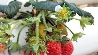 Hydroponic Strawberry INRAA Hmadna Algeria